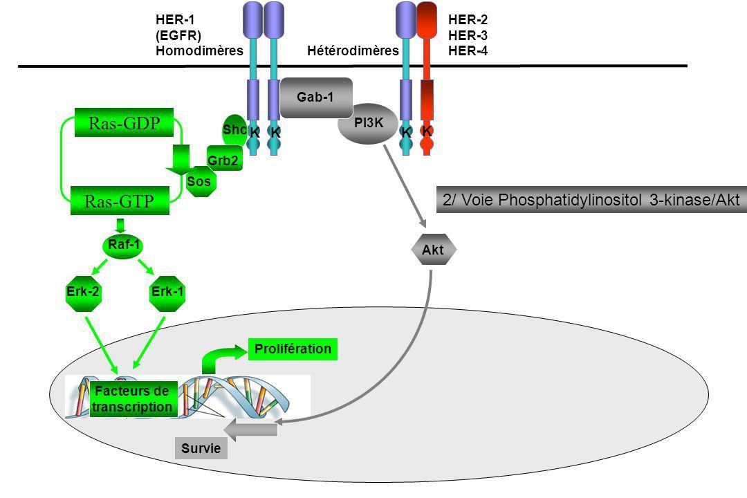 R-TK (HER/IGF-R) PI 3-kinase PIP 3 PTEN Akt PDK - T308 - S473 FKHR GSK3  BAD IKKa Survie cellulaire Apoptose Acides Aminés mTOR Cycle cellulaire - cyclin D 1 - P27 kip-1 P70 S6K 4E-BP1 eIF4G, eIF4B Recrutement des Ribosomes & Traduction des Protéines Raptor