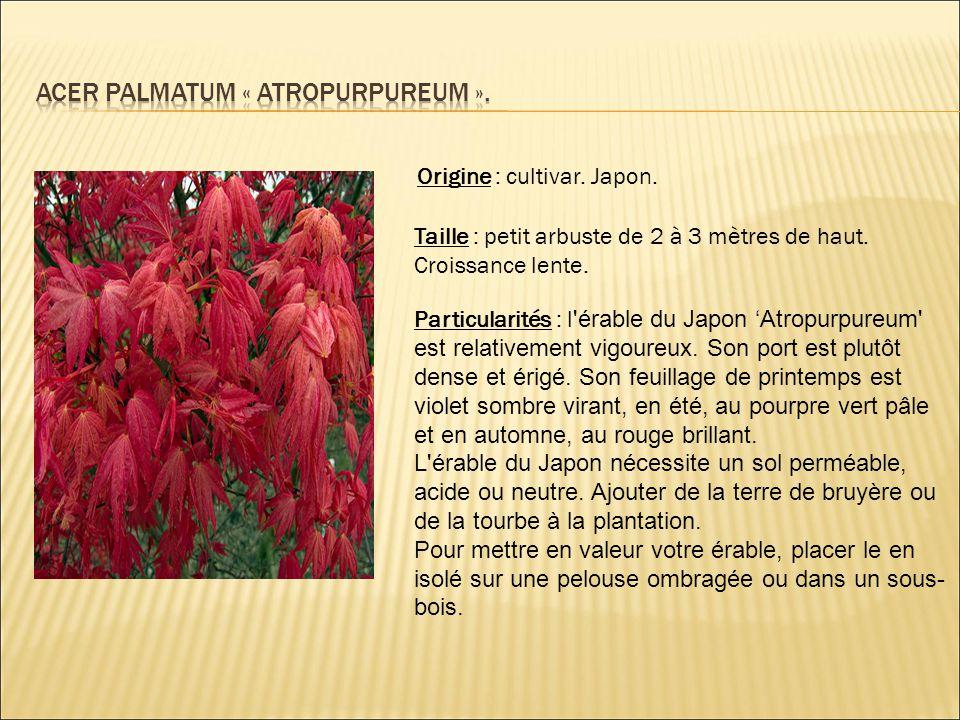 Origine : cultivar. Japon. Taille : petit arbuste de 2 à 3 mètres de haut. Croissance lente. Particularités : l 'érable du Japon 'Atropurpureum' est r