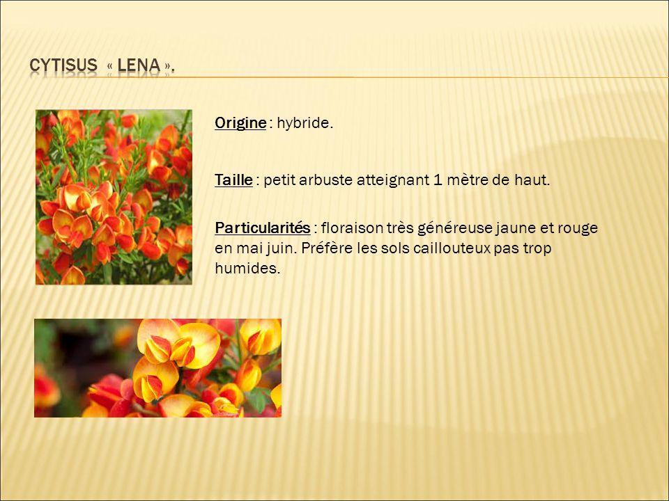 Origine : hybride. Taille : petit arbuste atteignant 1 mètre de haut. Particularités : floraison très généreuse jaune et rouge en mai juin. Préfère le
