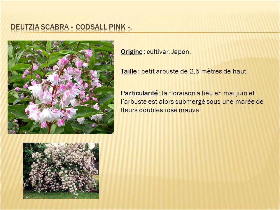 Origine : cultivar. Japon. Taille : petit arbuste de 2,5 mètres de haut. Particularité : la floraison a lieu en mai juin et l'arbuste est alors submer