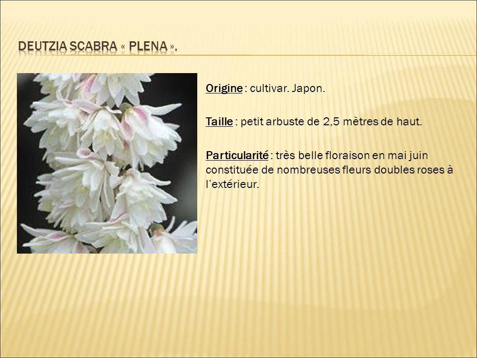 Origine : cultivar. Japon. Taille : petit arbuste de 2,5 mètres de haut. Particularité : très belle floraison en mai juin constituée de nombreuses fle