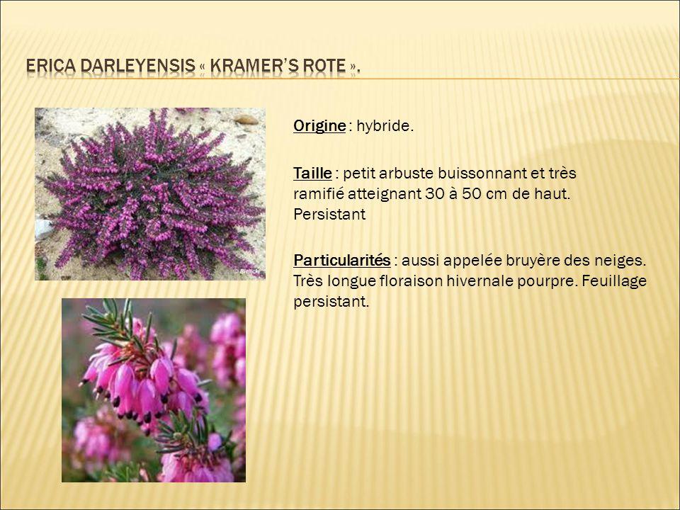 Origine : hybride. Taille : petit arbuste buissonnant et très ramifié atteignant 30 à 50 cm de haut. Persistant Particularités : aussi appelée bruyère
