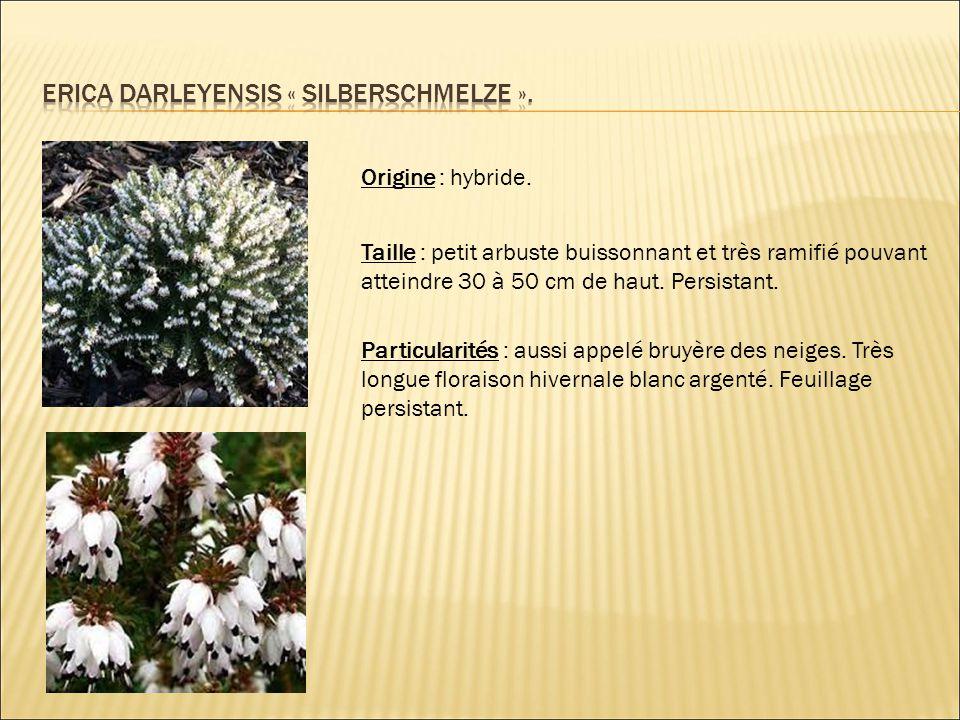 Origine : hybride. Taille : petit arbuste buissonnant et très ramifié pouvant atteindre 30 à 50 cm de haut. Persistant. Particularités : aussi appelé