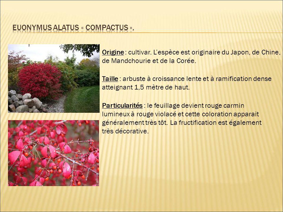 Origine : cultivar. L'espèce est originaire du Japon, de Chine, de Mandchourie et de la Corée. Taille : arbuste à croissance lente et à ramification d