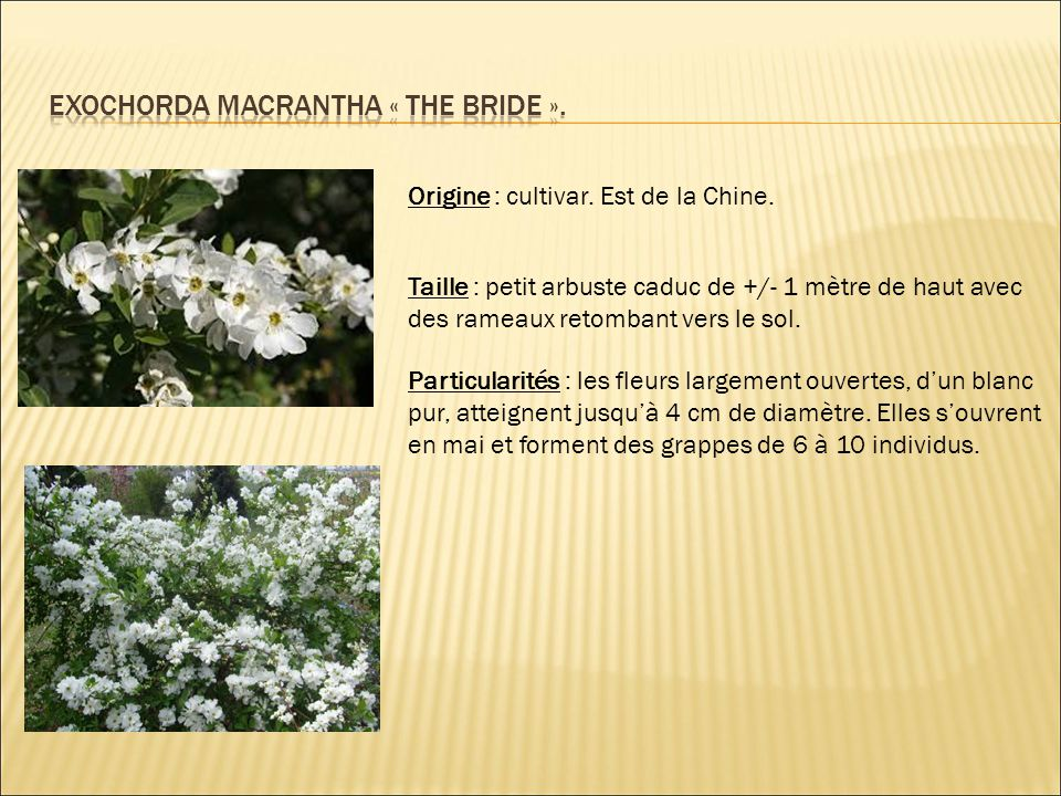 Origine : cultivar. Est de la Chine. Taille : petit arbuste caduc de +/- 1 mètre de haut avec des rameaux retombant vers le sol. Particularités : les