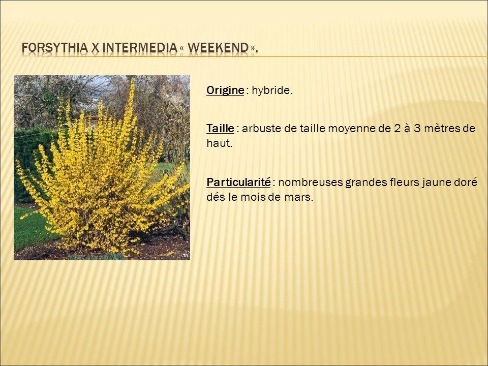 Origine : hybride. Taille : arbuste de taille moyenne de 2 à 3 mètres de haut. Particularité : nombreuses grandes fleurs jaune doré dés le mois de mar