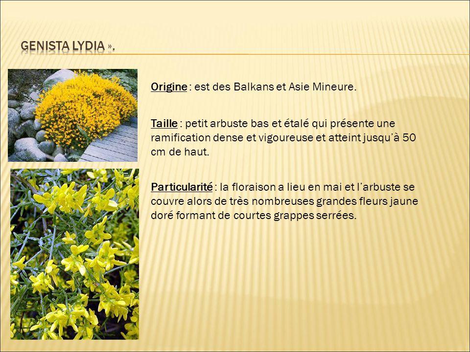 Origine : est des Balkans et Asie Mineure. Taille : petit arbuste bas et étalé qui présente une ramification dense et vigoureuse et atteint jusqu'à 50