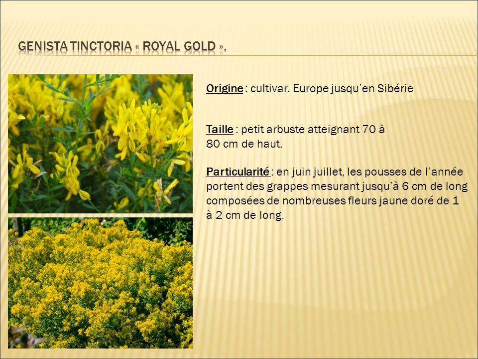 Origine : cultivar. Europe jusqu'en Sibérie Taille : petit arbuste atteignant 70 à 80 cm de haut. Particularité : en juin juillet, les pousses de l'an