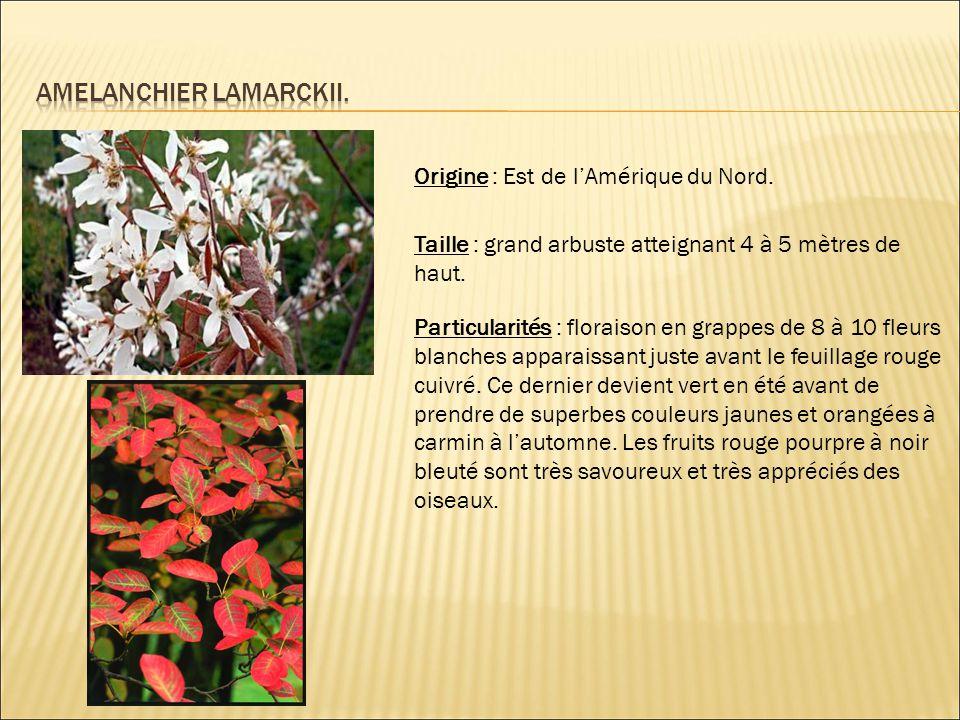 Origine : Est de l'Amérique du Nord. Taille : grand arbuste atteignant 4 à 5 mètres de haut. Particularités : floraison en grappes de 8 à 10 fleurs bl