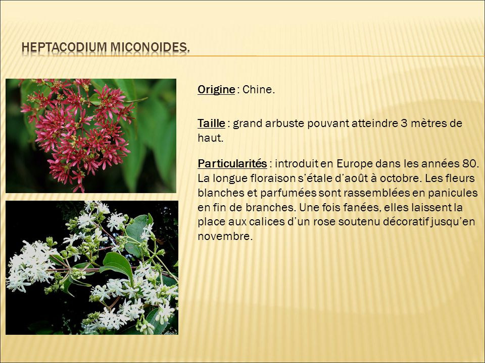 Origine : Chine. Taille : grand arbuste pouvant atteindre 3 mètres de haut. Particularités : introduit en Europe dans les années 80. La longue florais