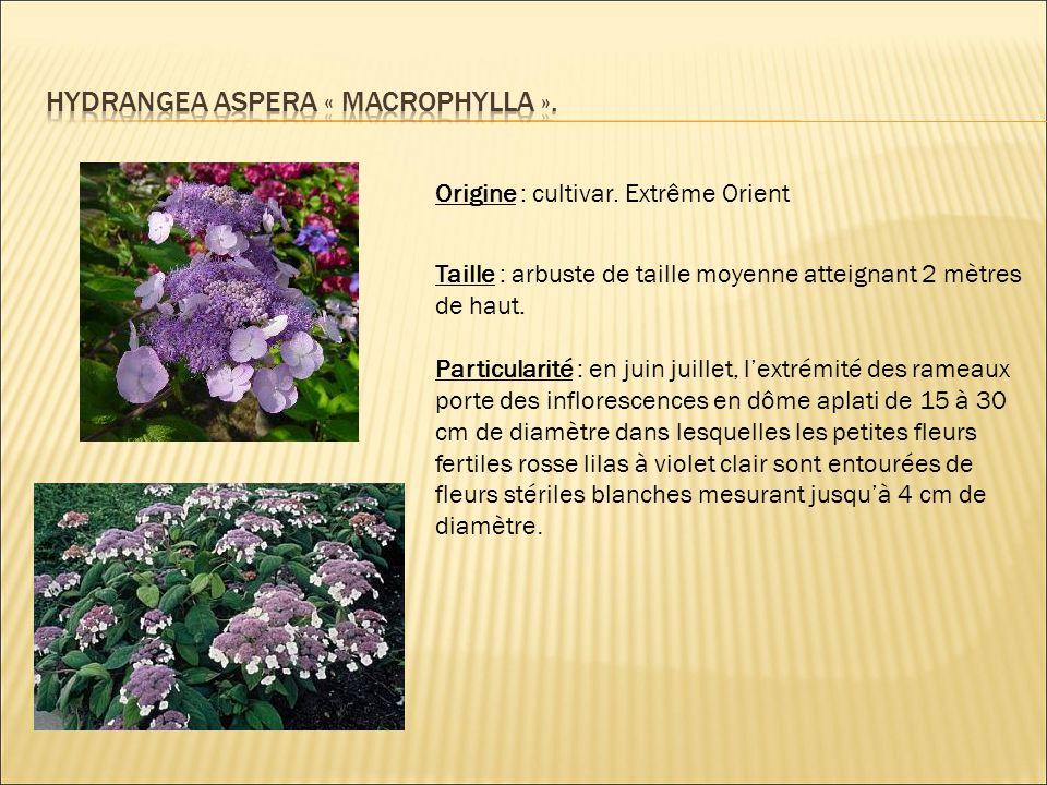 Origine : cultivar. Extrême Orient Taille : arbuste de taille moyenne atteignant 2 mètres de haut. Particularité : en juin juillet, l'extrémité des ra