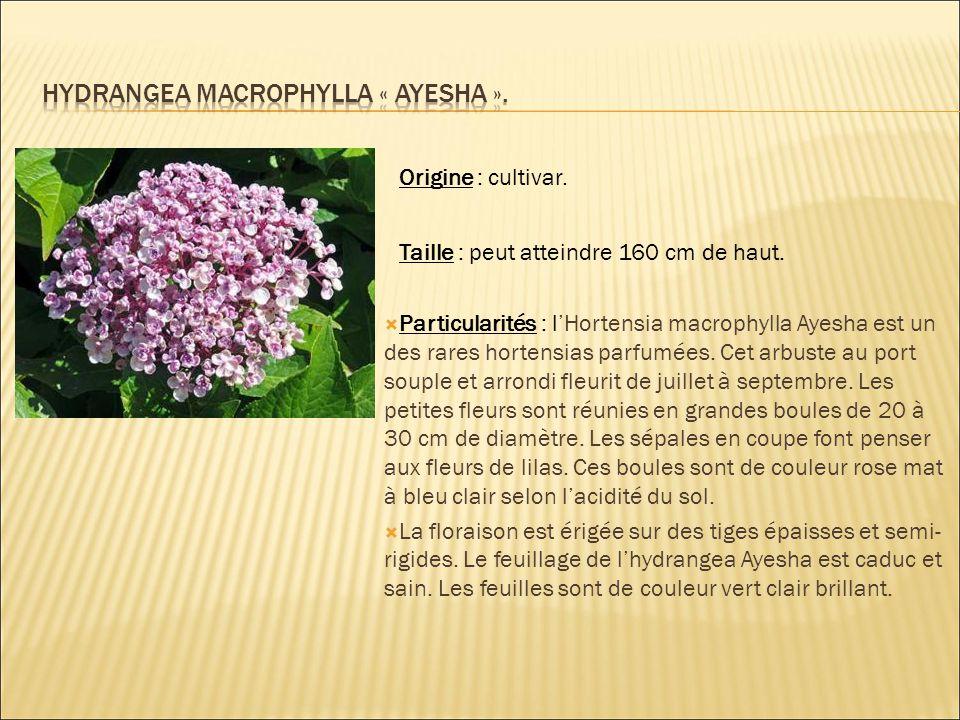 Origine : cultivar. Taille : peut atteindre 160 cm de haut.  Particularités : l'Hortensia macrophylla Ayesha est un des rares hortensias parfumées. C
