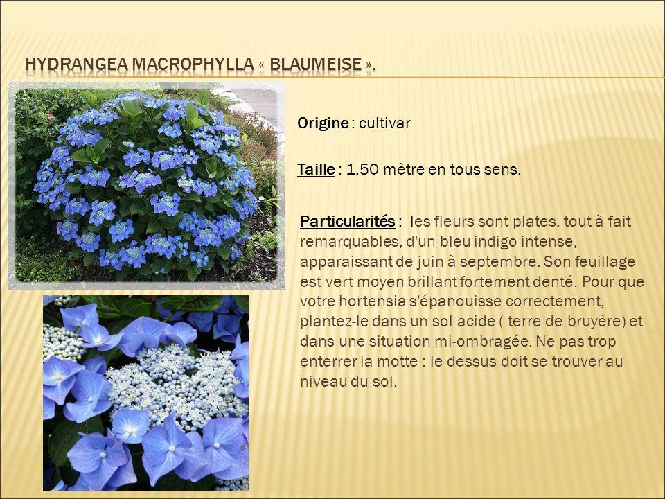 Origine : cultivar Taille : 1,50 mètre en tous sens. Particularités : les fleurs sont plates, tout à fait remarquables, d'un bleu indigo intense, appa