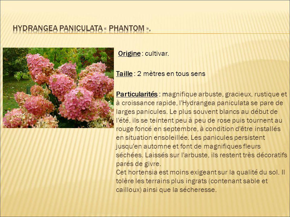 Origine : cultivar. Taille : 2 mètres en tous sens Particularités : magnifique arbuste, gracieux, rustique et à croissance rapide, l'Hydrangea panicul