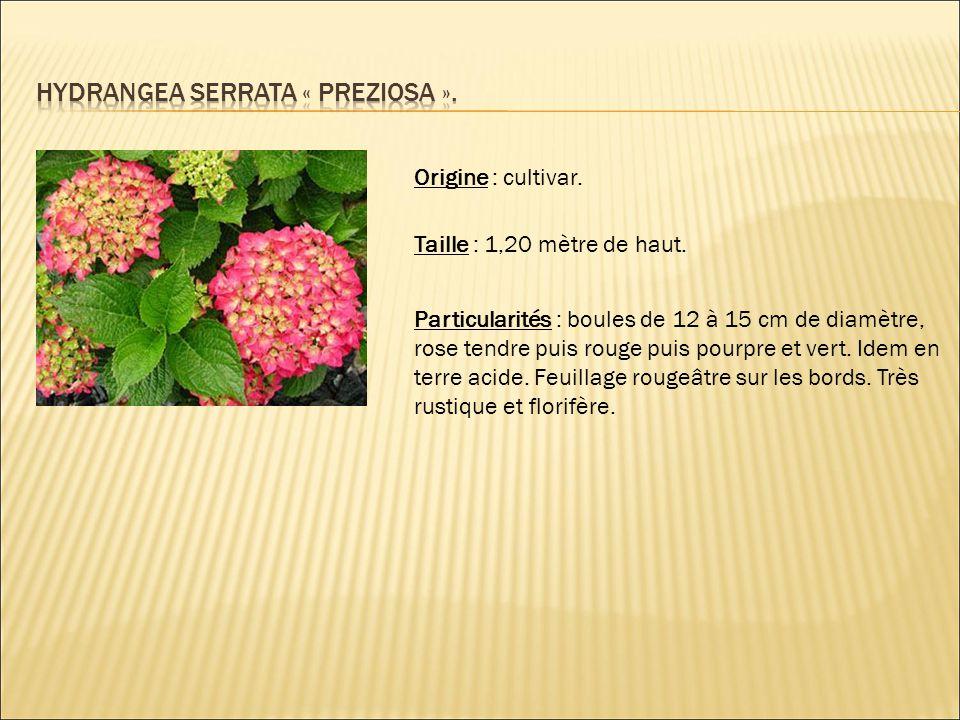 Origine : cultivar. Taille : 1,20 mètre de haut. Particularités : boules de 12 à 15 cm de diamètre, rose tendre puis rouge puis pourpre et vert. Idem