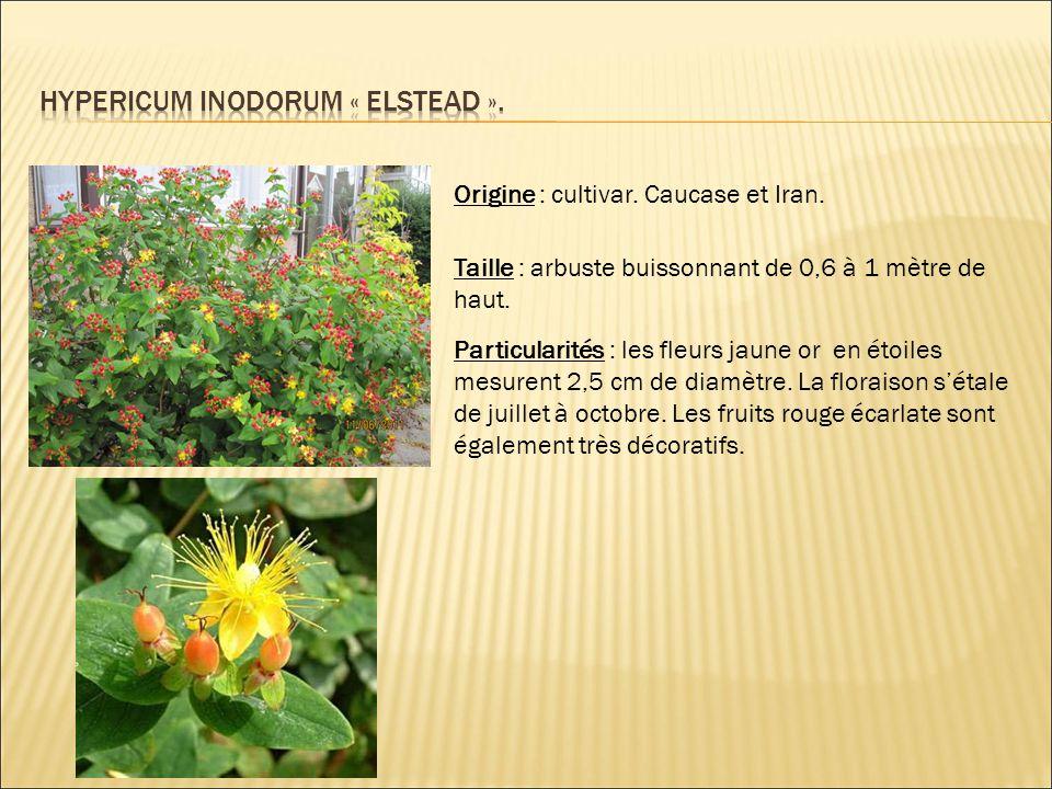 Origine : cultivar. Caucase et Iran. Taille : arbuste buissonnant de 0,6 à 1 mètre de haut. Particularités : les fleurs jaune or en étoiles mesurent 2