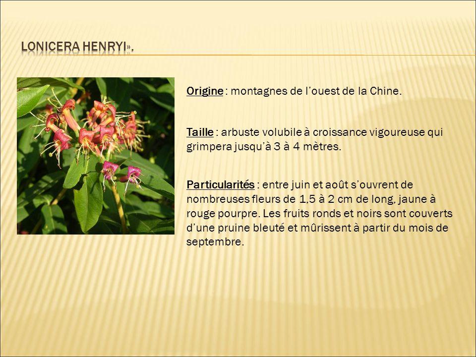 Origine : montagnes de l'ouest de la Chine. Taille : arbuste volubile à croissance vigoureuse qui grimpera jusqu'à 3 à 4 mètres. Particularités : entr