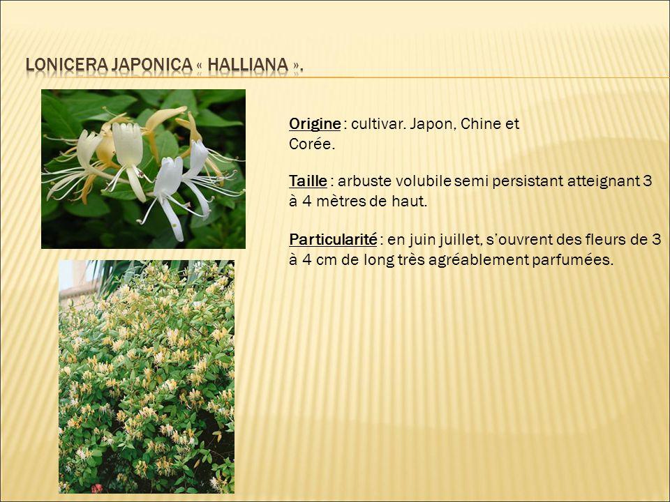 Origine : cultivar. Japon, Chine et Corée. Taille : arbuste volubile semi persistant atteignant 3 à 4 mètres de haut. Particularité : en juin juillet,