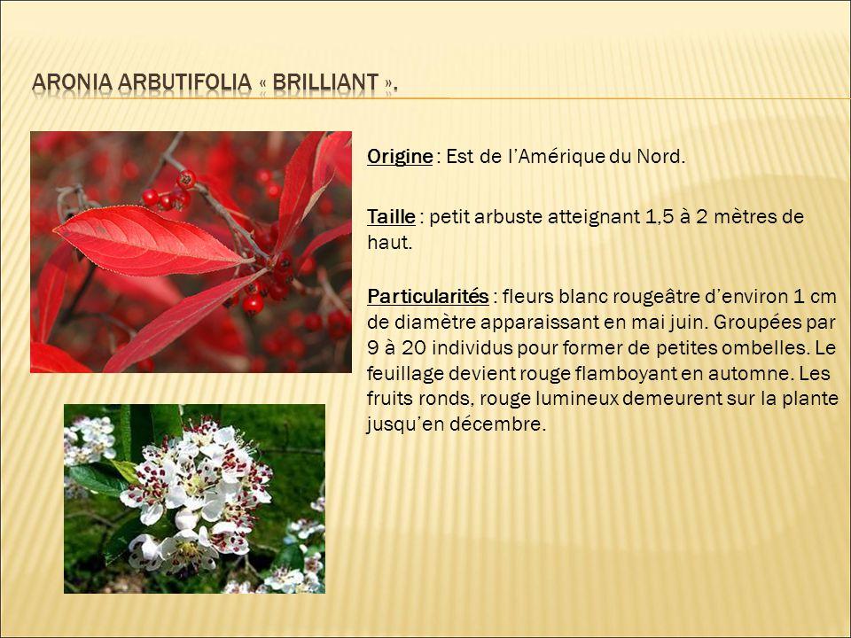 Origine : Est de l'Amérique du Nord. Taille : petit arbuste atteignant 1,5 à 2 mètres de haut. Particularités : fleurs blanc rougeâtre d'environ 1 cm