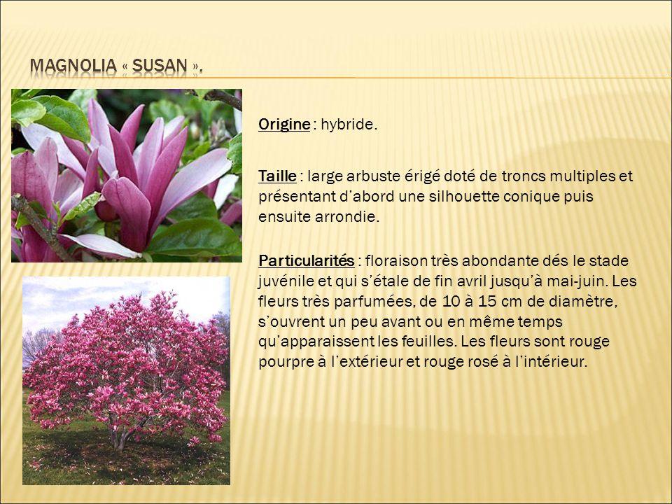Origine : hybride. Taille : large arbuste érigé doté de troncs multiples et présentant d'abord une silhouette conique puis ensuite arrondie. Particula
