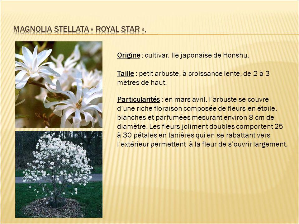 Origine : cultivar. Ile japonaise de Honshu. Taille : petit arbuste, à croissance lente, de 2 à 3 mètres de haut. Particularités : en mars avril, l'ar