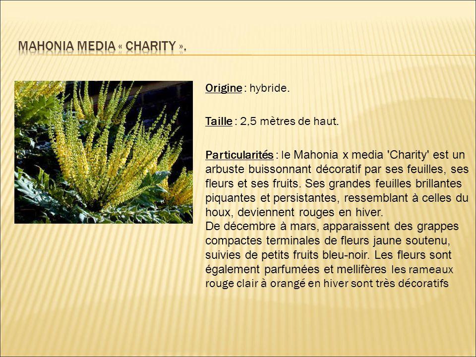 Origine : hybride. Taille : 2,5 mètres de haut. Particularités : l e Mahonia x media 'Charity' est un arbuste buissonnant décoratif par ses feuilles,