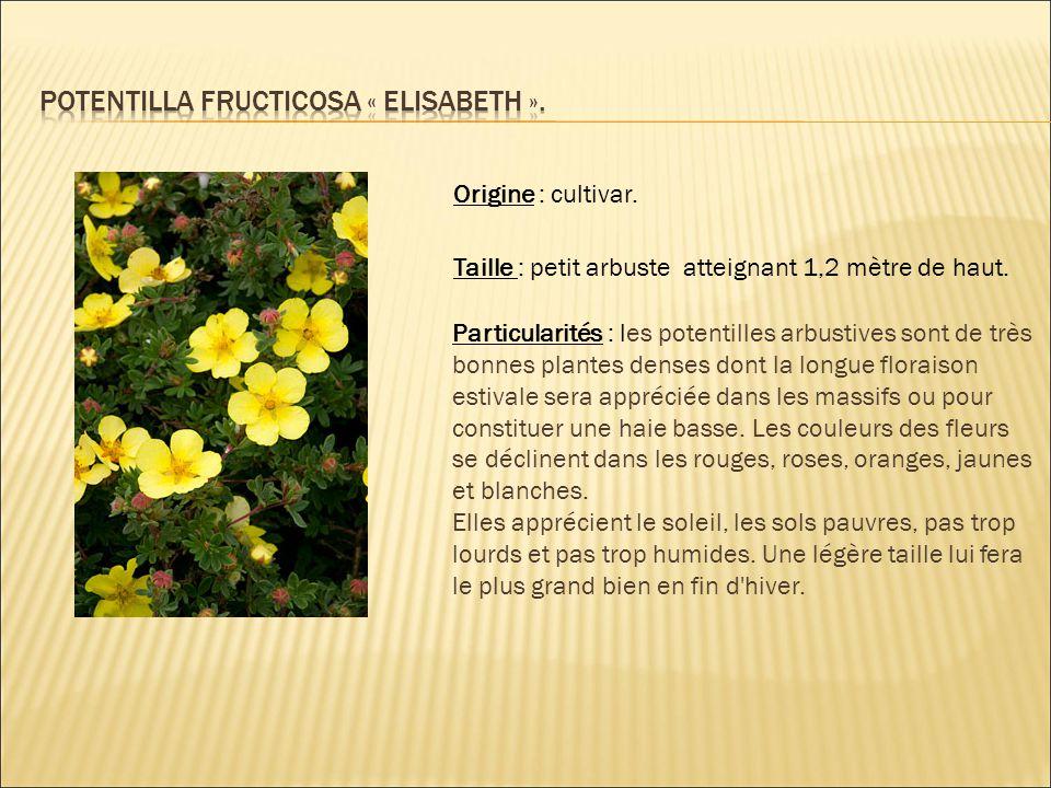 Origine : cultivar. Taille : petit arbuste atteignant 1,2 mètre de haut. Particularités : les potentilles arbustives sont de très bonnes plantes dense