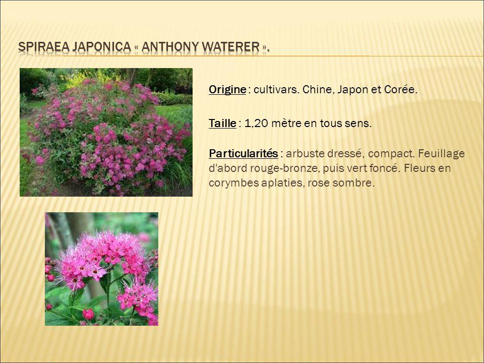 Origine : cultivars. Chine, Japon et Corée. Taille : 1,20 mètre en tous sens. Particularités : arbuste dressé, compact. Feuillage d'abord rouge-bronze
