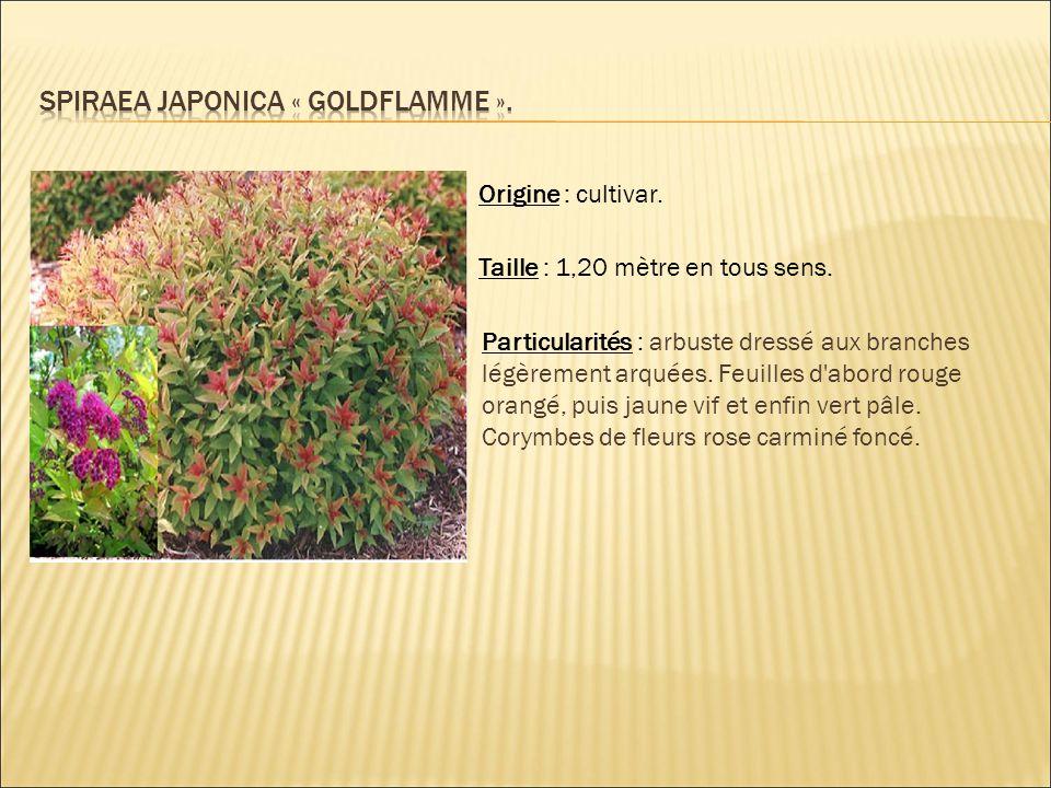 Origine : cultivar. Taille : 1,20 mètre en tous sens. Particularités : arbuste dressé aux branches légèrement arquées. Feuilles d'abord rouge orangé,