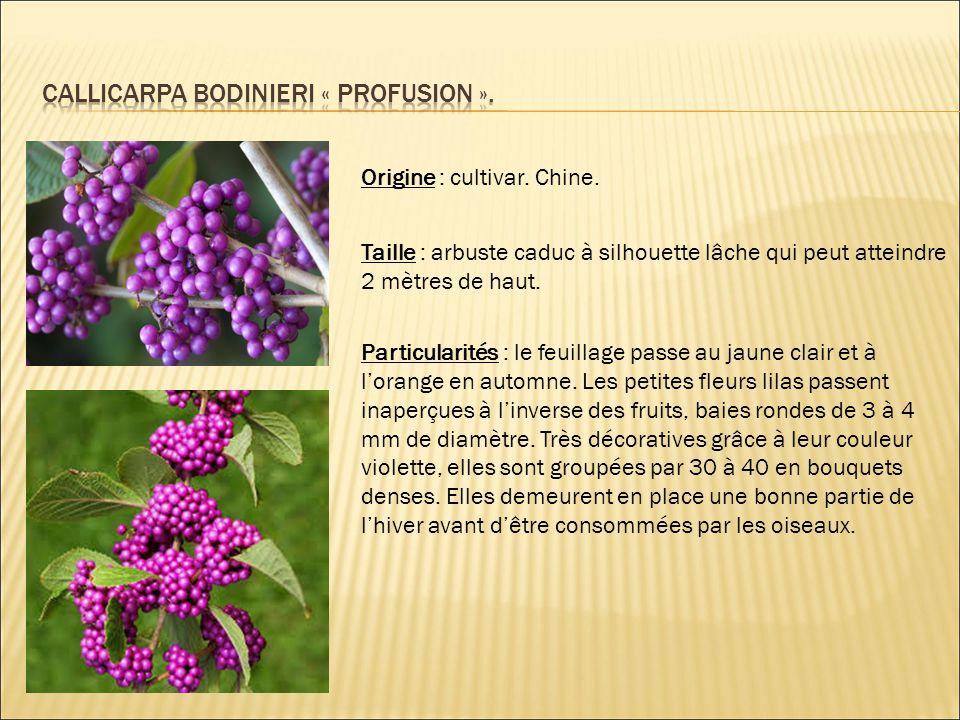 Origine : cultivar.L'espèce est originaire du Japon, de Chine, de Mandchourie et de la Corée.
