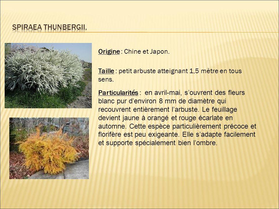 Origine : Chine et Japon. Taille : petit arbuste atteignant 1,5 mètre en tous sens. Particularités : en avril-mai, s'ouvrent des fleurs blanc pur d'en