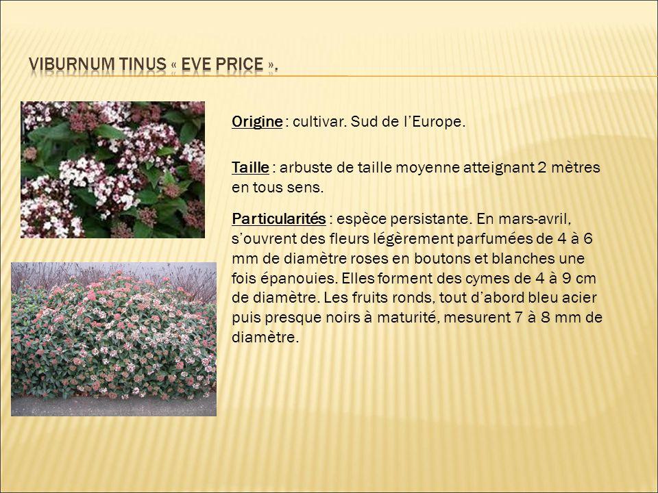 Origine : cultivar. Sud de l'Europe. Taille : arbuste de taille moyenne atteignant 2 mètres en tous sens. Particularités : espèce persistante. En mars