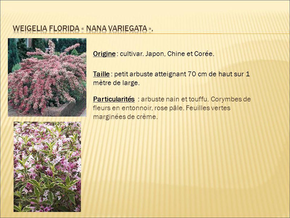 Origine : cultivar. Japon, Chine et Corée. Taille : petit arbuste atteignant 70 cm de haut sur 1 mètre de large. Particularités : arbuste nain et touf