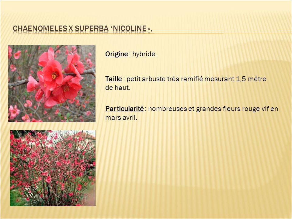 Origine : hybride. Taille : petit arbuste très ramifié mesurant 1,5 mètre de haut. Particularité : nombreuses et grandes fleurs rouge vif en mars avri