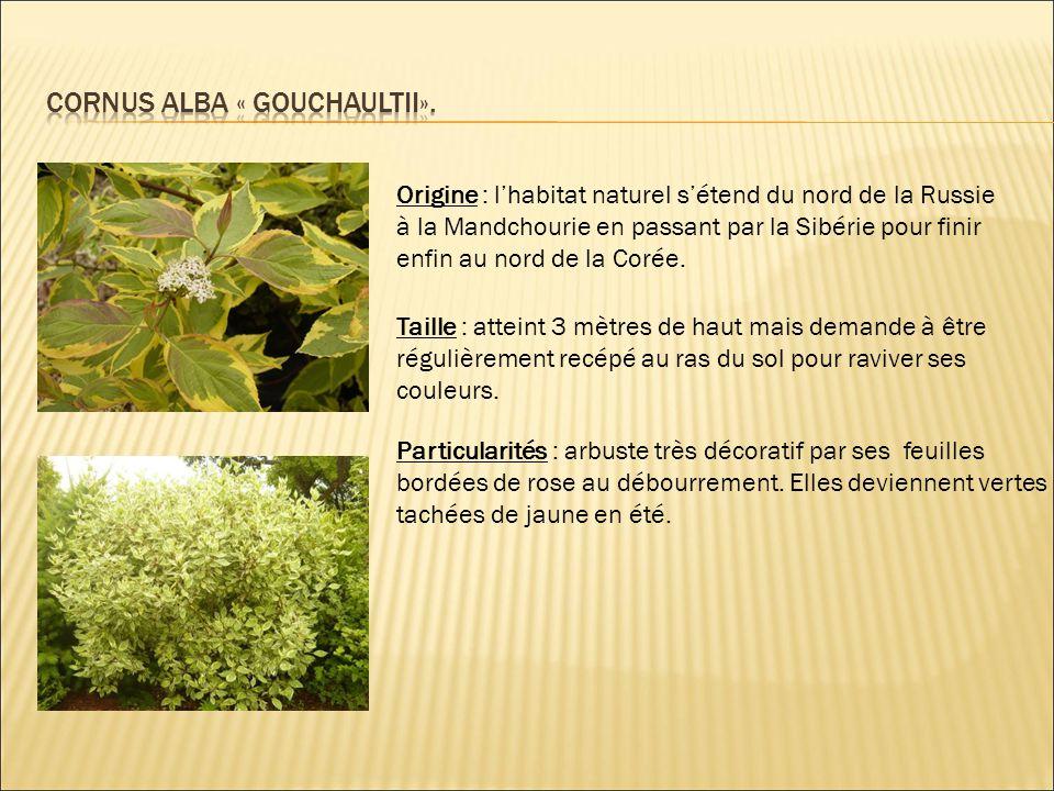 Origine : cultivar.Europe jusqu'en Sibérie Taille : petit arbuste atteignant 70 à 80 cm de haut.