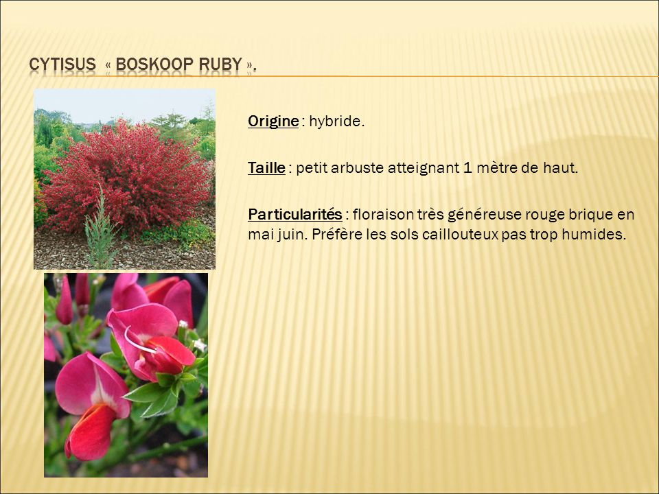 Origine : hybride. Taille : petit arbuste atteignant 1 mètre de haut. Particularités : floraison très généreuse rouge brique en mai juin. Préfère les