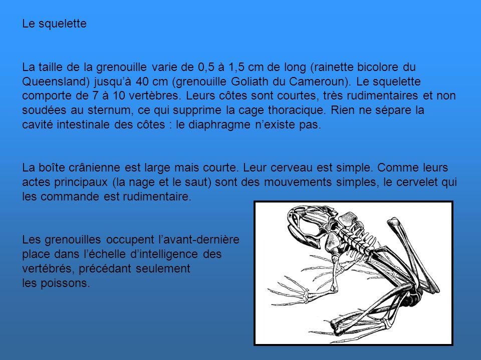La circulation sanguine La grenouille adulte possède deux circulations : une petite assurant le circuit coeur-poumons et une grande qui assure le circ