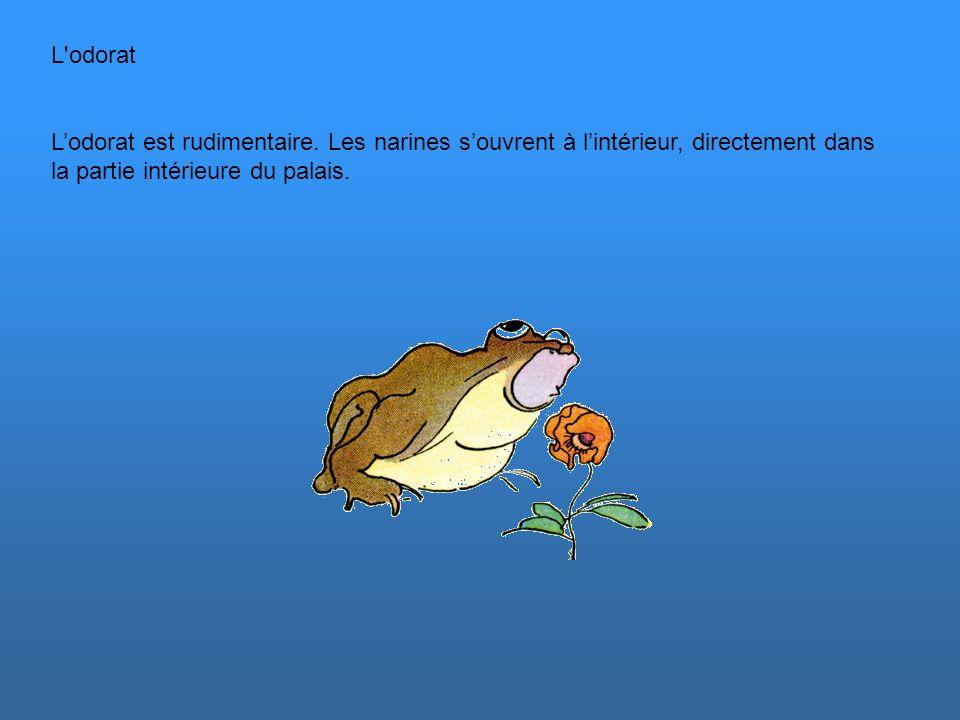 Le toucher Les pattes avants de la grenouille n'ont que 4 doigts. Le pouce n'existe pas. Les pattes arrières ont 5 doigts. Chez les espèces arboricole