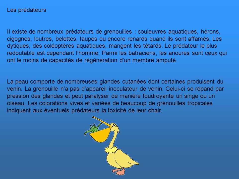 Les proies Les têtards sont essentiellement herbivores. Les grenouilles sont presque exclusivement carnivores. La capture de la proie est effectuée en