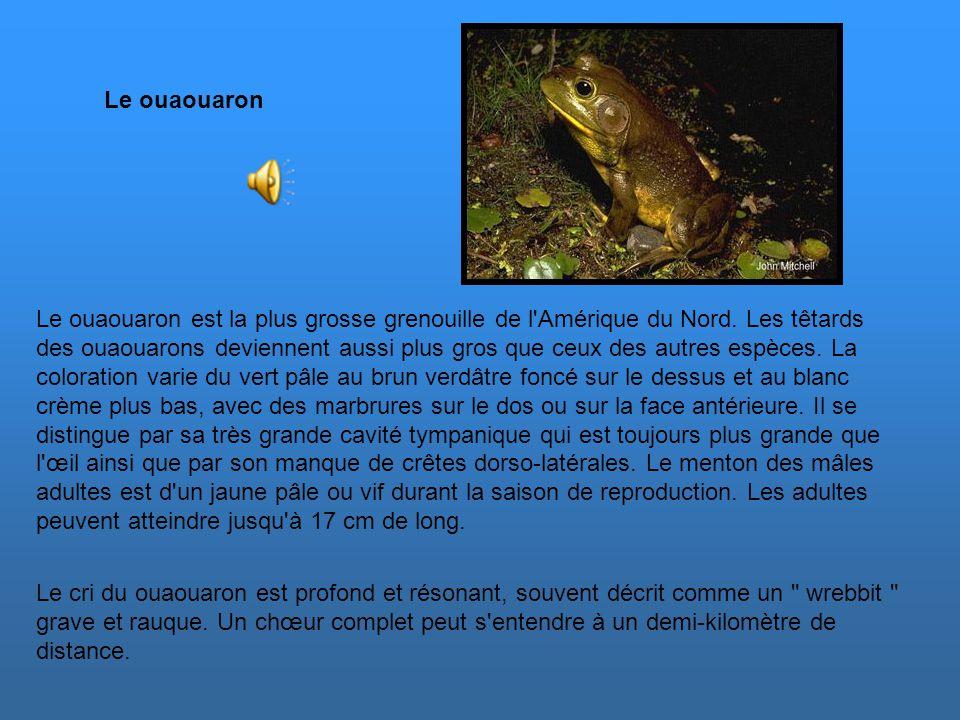 Les grenouilles des marais se reproduisent de la moitié à la fin du printemps, un peu plus tard que pour les grenouilles léopards dans la même région.