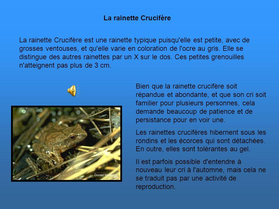L'accouplement a lieu plus tard que chez la plupart des autres grenouilles et il se produit généralement de la mi-juin à la fin juillet durant des nui