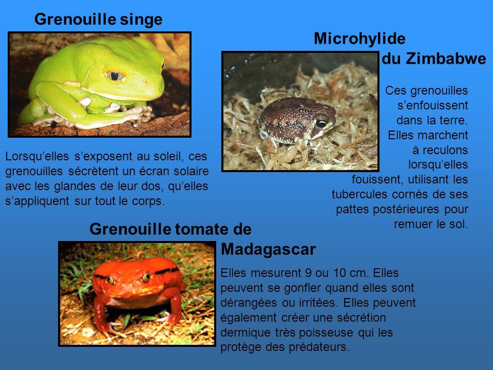 D'autres grenouilles et crapauds … Les crapauds cornus vivent en Asie. Les excroissances au-dessus de leurs paupières leur permettent de se camoufler
