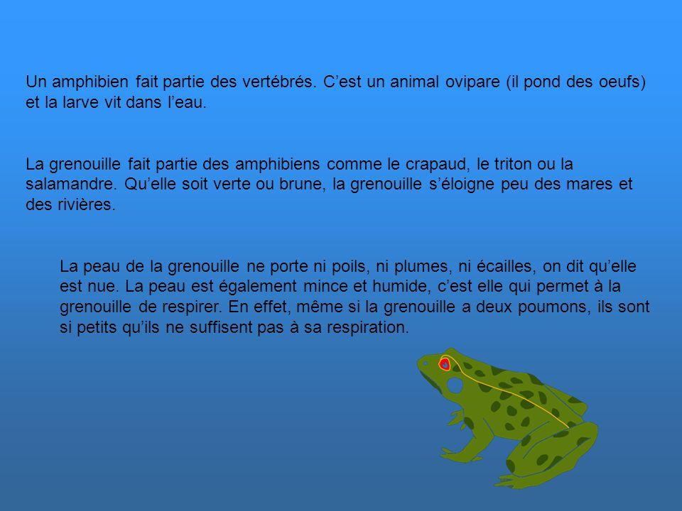 Un amphibien fait partie des vertébrés.