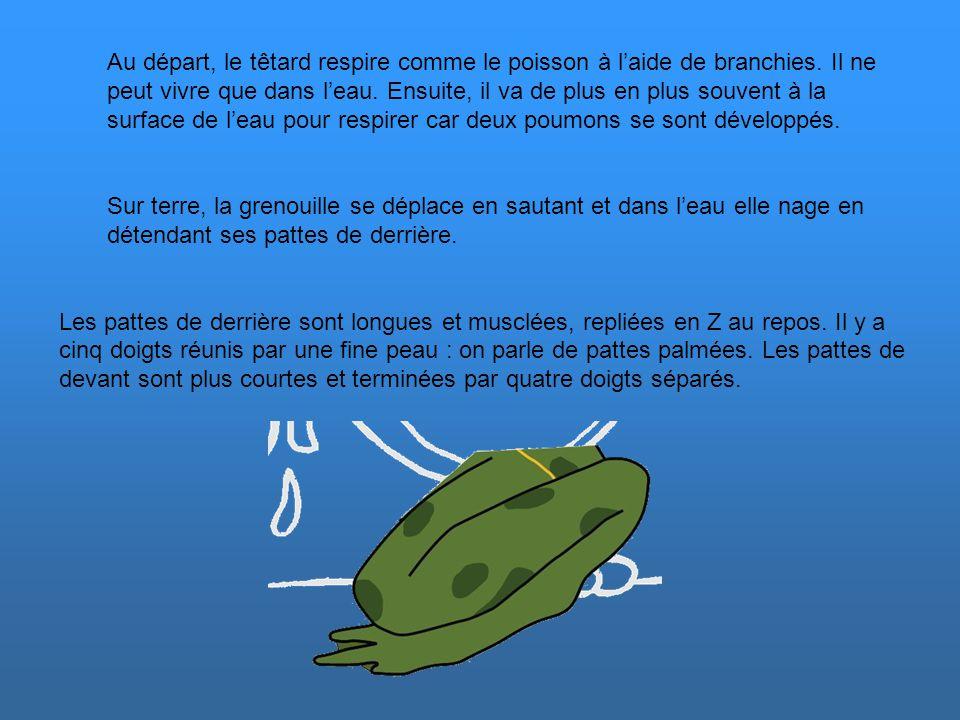 L audition Les amphibiens n'ont pas d'oreille externe : les tympans, généralement placés derrière les yeux, sont à fleur de peau, et non au centre du conduit auditif.