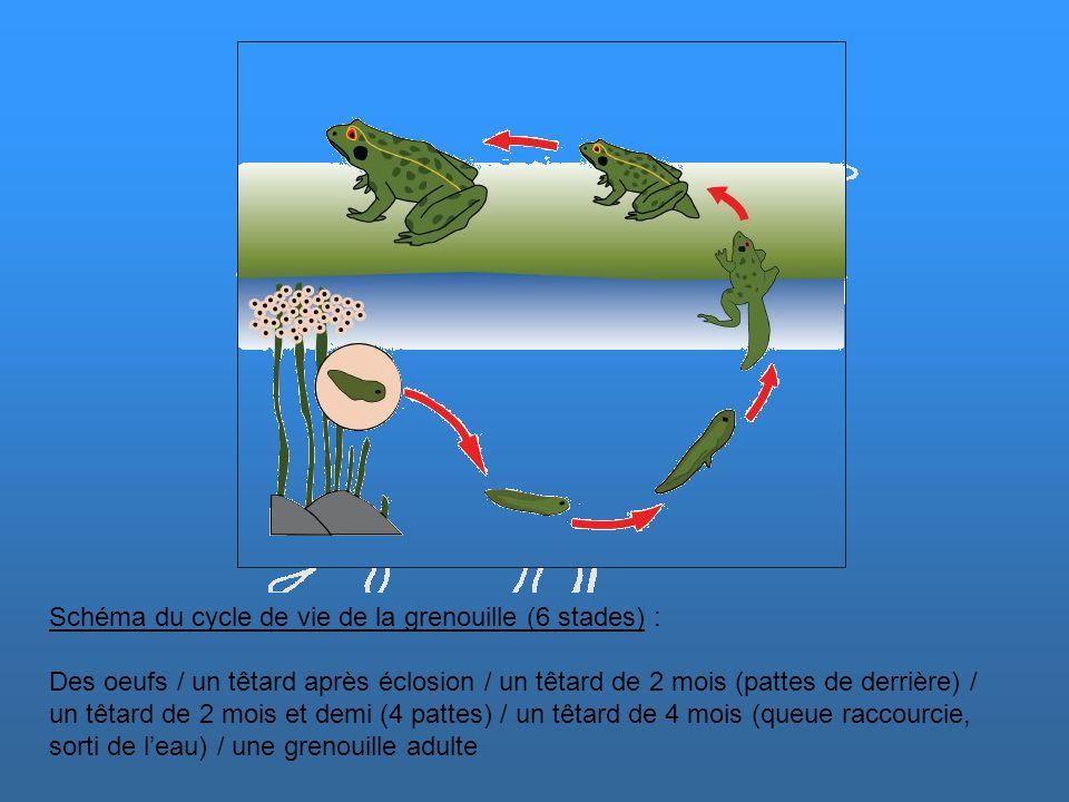 Schéma du cycle de vie de la grenouille (6 stades) : Des oeufs / un têtard après éclosion / un têtard de 2 mois (pattes de derrière) / un têtard de 2 mois et demi (4 pattes) / un têtard de 4 mois (queue raccourcie, sorti de l'eau) / une grenouille adulte