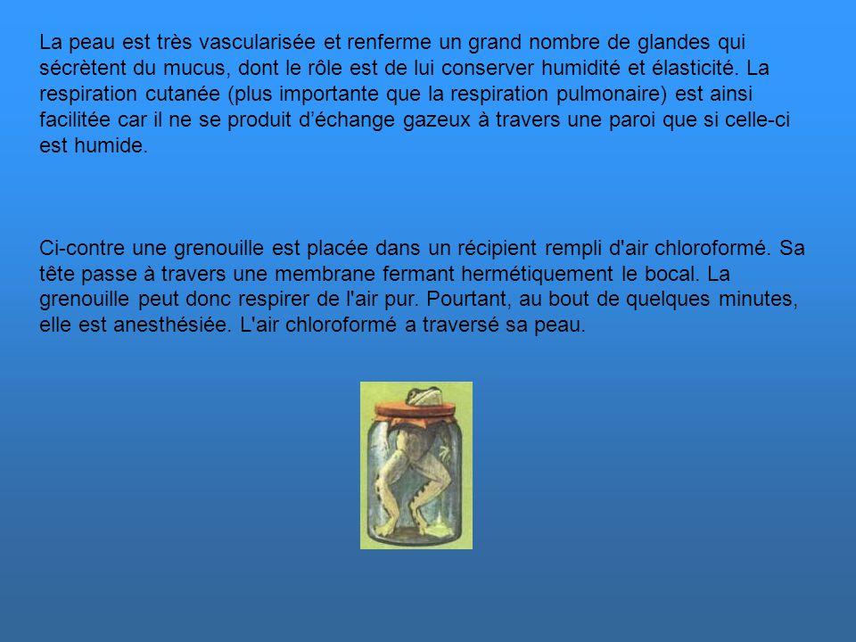 L'appareil respiratoire L'équilibre physiologique de la grenouille se réalise dans un environnement à forte hygrométrie. Dans une atmosphère peu humid
