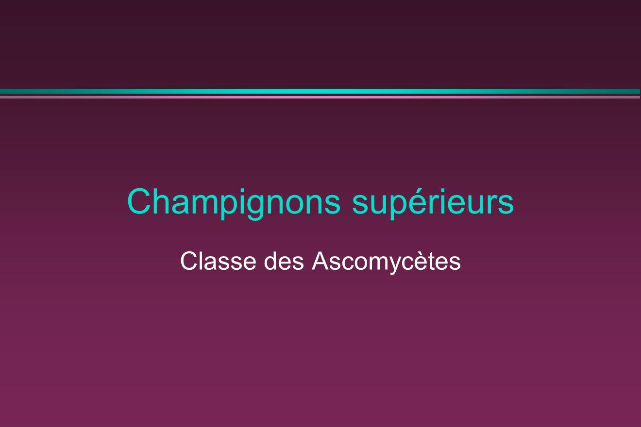 Champignons supérieurs Classe des Ascomycètes