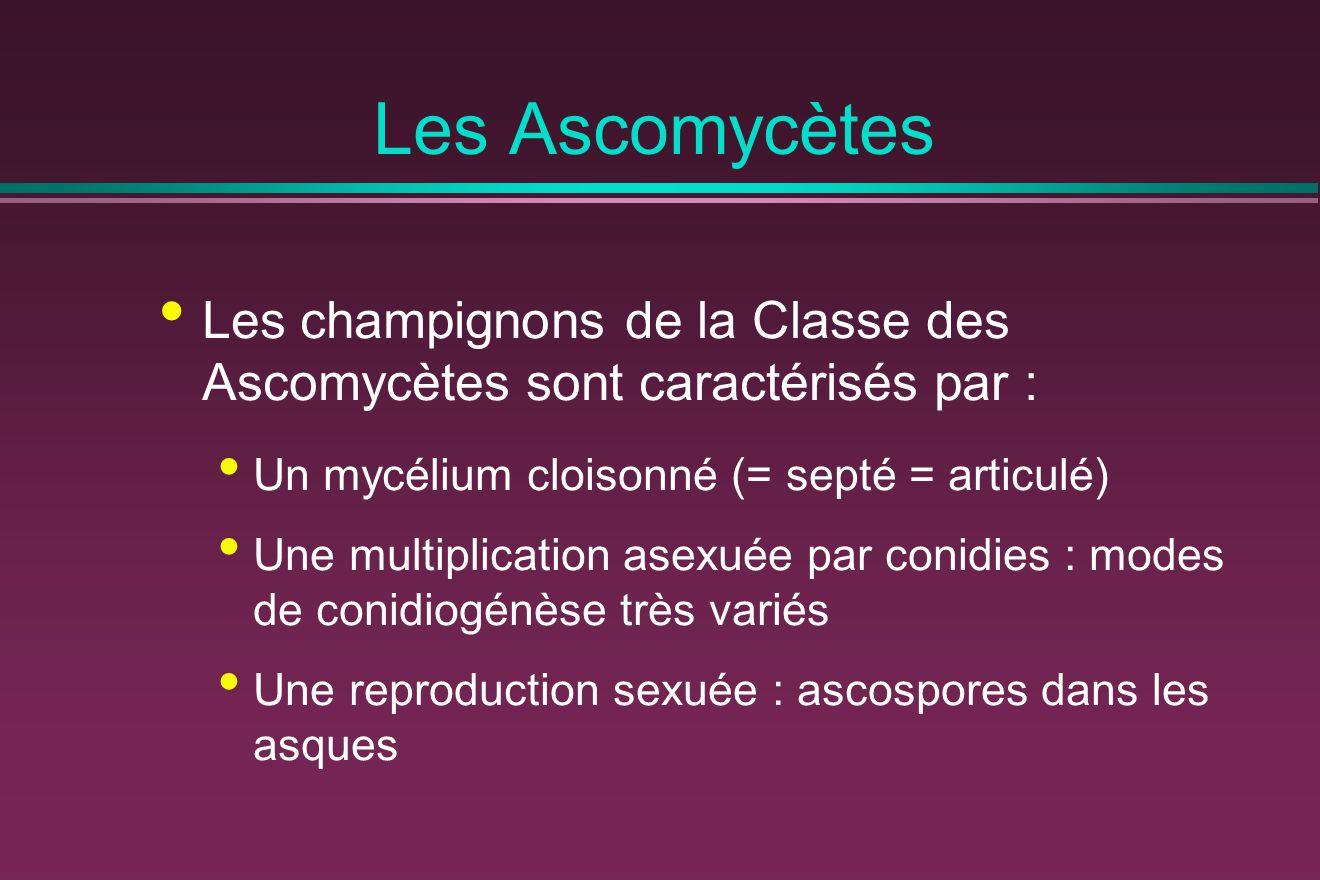 Les Ascomycètes Les champignons de la Classe des Ascomycètes sont caractérisés par : Un mycélium cloisonné (= septé = articulé) Une multiplication ase