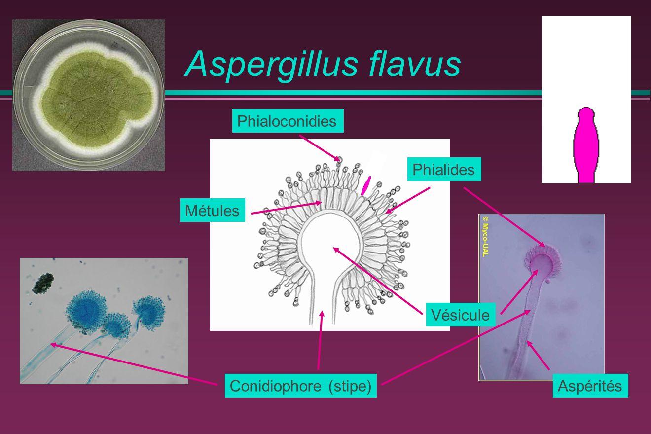 Aspergillus flavus Vésicule Phialides Conidiophore (stipe) Phialoconidies Métules Aspérités