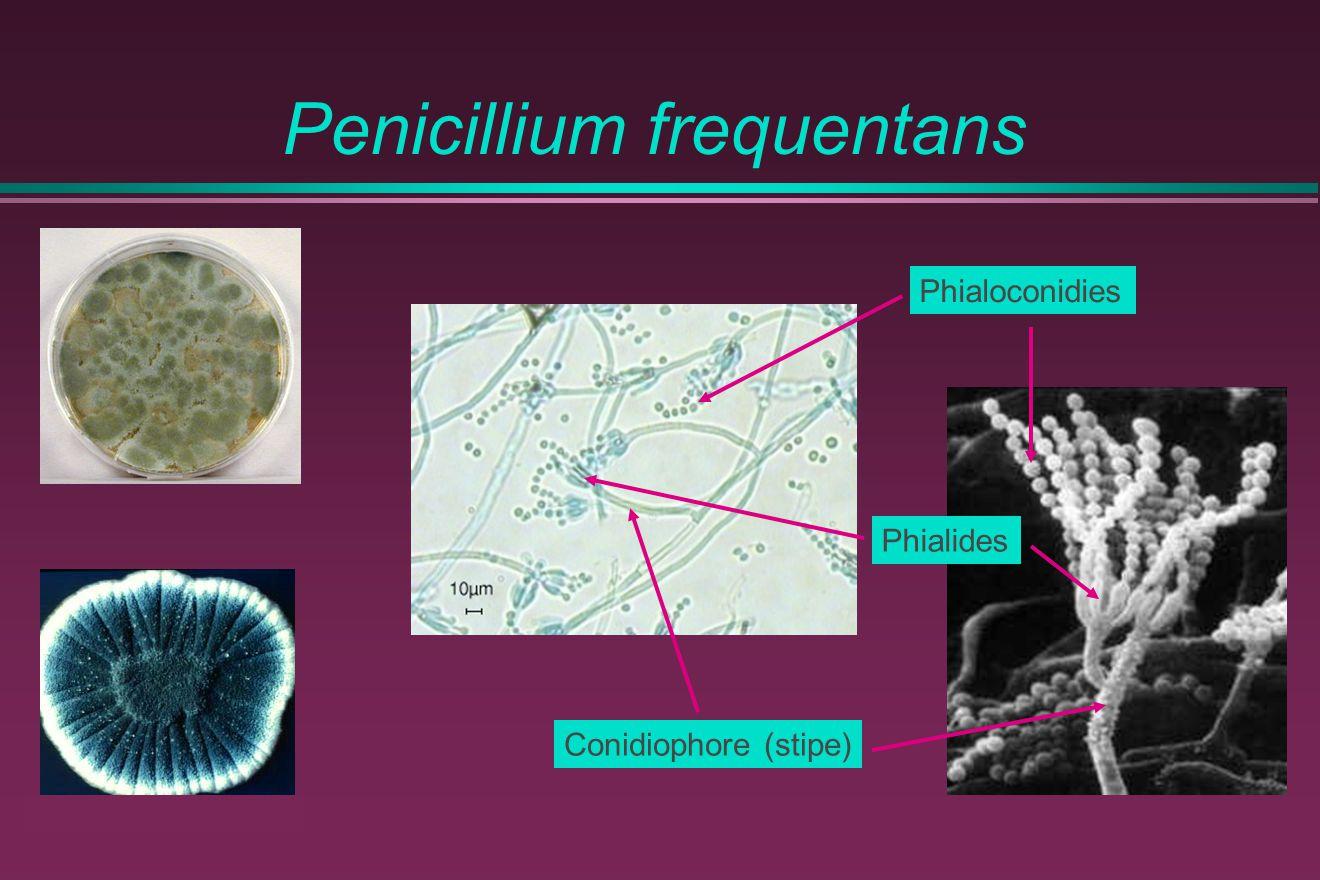 Penicillium frequentans Phialides Conidiophore (stipe) Phialoconidies